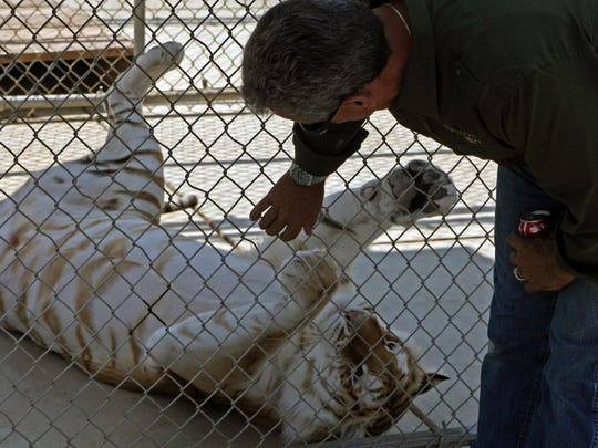 Charlie Sammut plays with Rajani, a golden tabby Bengal tiger, as he prepares her for her new home.