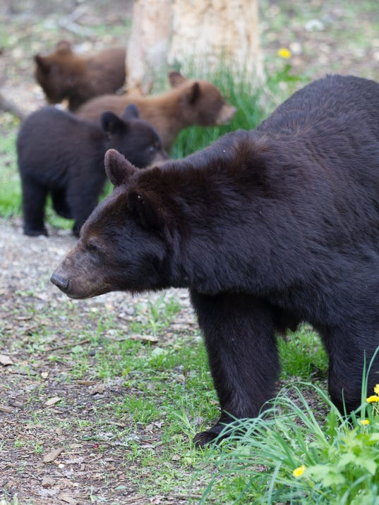 Black Bear With 3 Cubs Attacks Nj Woman Outside Home