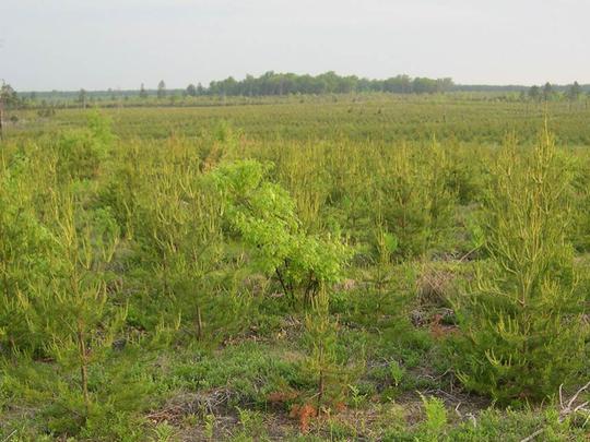 Jack pine plantations are established in northern Michigan to provide Kirtland's warbler breeding habitat.
