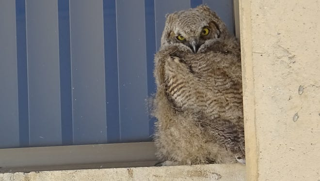 One of two great horned owl babies raised on a ledge at the Desert Research Institute in Reno. The last owlet fledged and left the nest Monday, May 7, 2018.