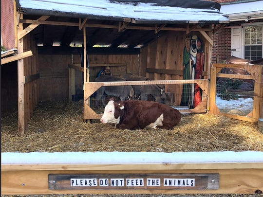 In this photo provided by Ryan Penn, Ginger, a cow that replaced Stormy that escaped twice in one day from a church's live nativity scene, rests Thursday, Dec. 14, 2017, at the Old Reformed Church of Christ in Philadelphia. Pennsylvania State Police troopers first caught Stormy, the wayward cow, after 2 a.m., Thursday morning after shutting down some lanes on Interstate 95. Stormy escaped again around 6 a.m. By late morning, she was rescued on the fourth floor of a parking garage.