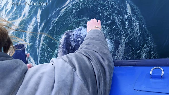 A passenger on a whale-watching cruise pets a 35-foot gray whale that surfaced near the boat off Southern California. The curious whale appeared near the surface of the water Monday, near Dana Point, Calif.