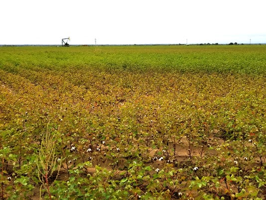 Wilbarger County cotton field