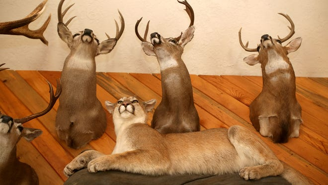 Black tail deer hang above a cougar in Pat Ackerman's home. Photo taken on Friday, Aug. 14, 2015, in Salem, Ore.