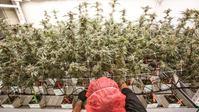 A worker tends to marijuana plants at the MedMen cultivation facility in Sun Valley near Los Angeles, on Tuesday, Nov. 15. These plants are ready to be harvested. MedMen currently grows 20 strains of marijuana plants.