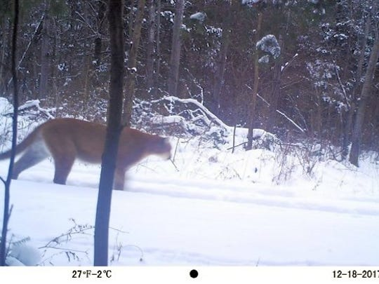 A cougar was captured on a trail cam on Dec. 18 near
