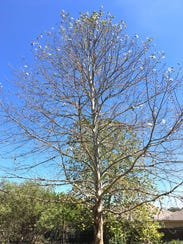 When leaves from a Mexican sycamore begin to drop,