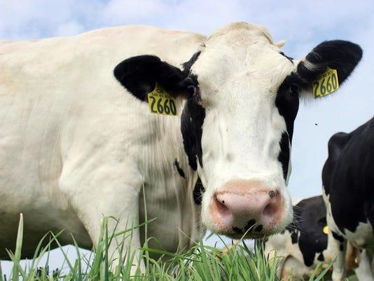 milk08-sassy cow