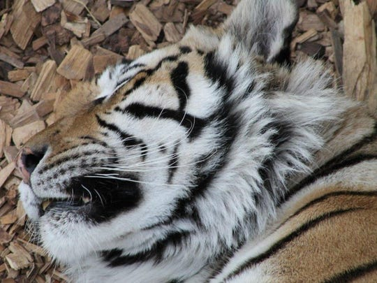 The large carnivores that call The Wild Animal Sanctuary