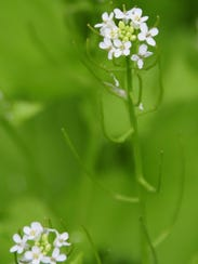 Garlic mustard is an invasive species that crowds out