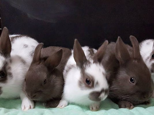 636238674439411115-Credit-Bundles-of-Bunnies-Rabbitry.jpg