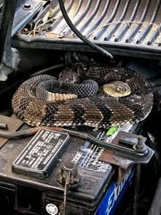 This photo provided on Thursday, June 21, 2018, by the New York State Department of Environmental Conservation shows a venomous timber rattlesnake inside a car's engine compartment and curled up on a battery earlier this month in rural Hancock, on the Pennsylvania. (New York State Department of Environmental Conservation via AP)