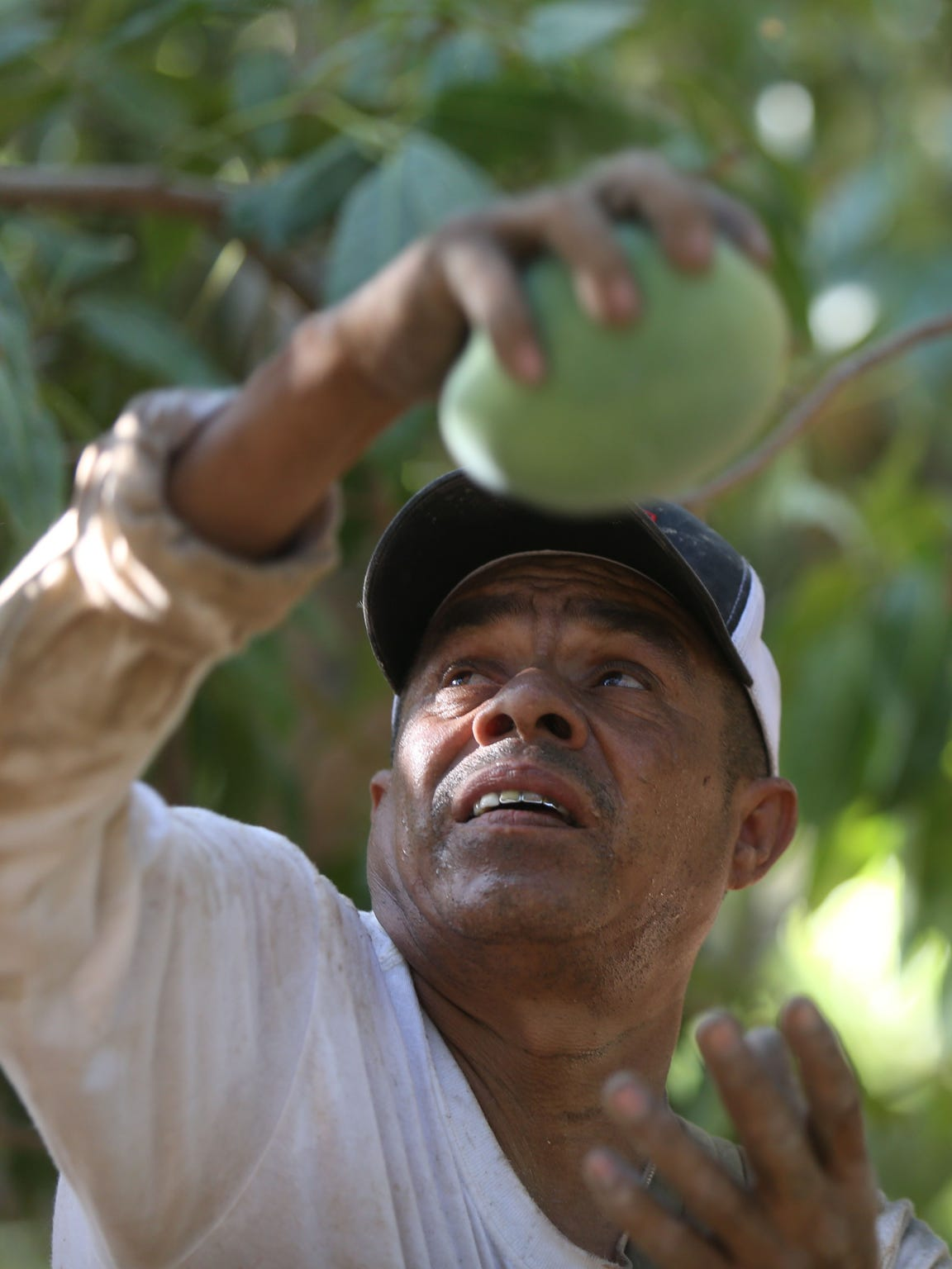 Francisco Alvarez Bautista picks mangos at a ranch near Salton City in late August. Alvarez's mother, Maria Bautista, died after suffering heat exposure during a day of picking grapes in 2008.