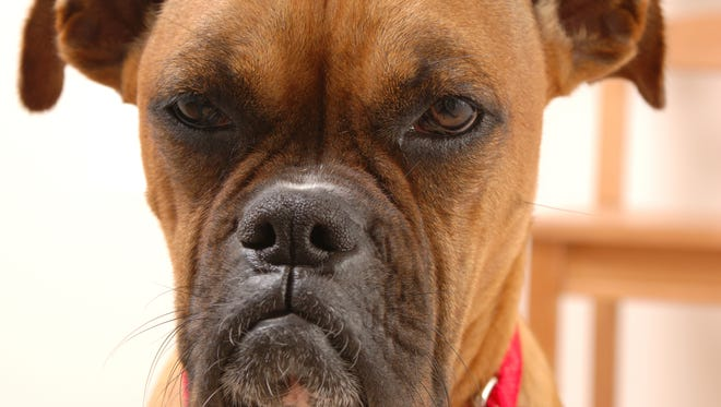 File photo of a boxer without cropped ears.