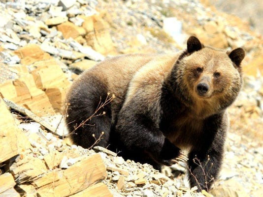 1 Grizzly bear