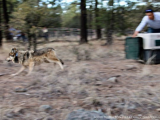 An endangered Mexican gray wolf runs into the wild in Chihuahua, Mexico. Mexico's National Commission of Protected Natural Areas released a pack of five wolves in February 2018. Officials fitted all five wolves with satellite telemetry collars to monitor their locations.