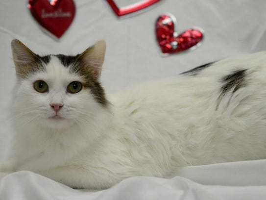 Georgina - Female domestic long hair, adult. Intake