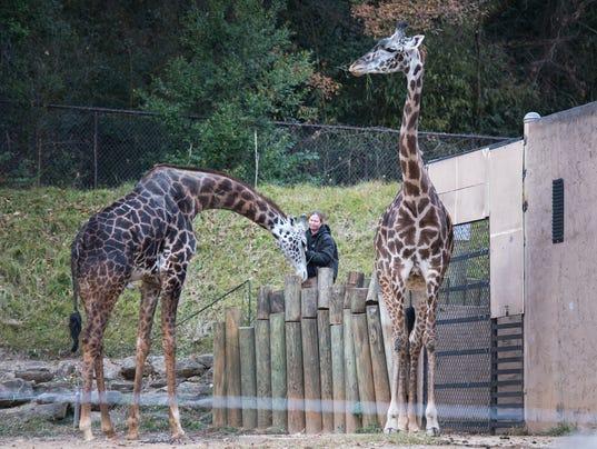 636482610778199813-LP-giraffe-120717-001.JPG