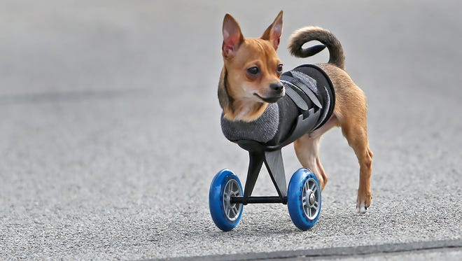 TurboRoo, an adorable Chihuahua born with only two legs, uses his new 3D-printed mobility cart with scooter wheels as he takes a walk.