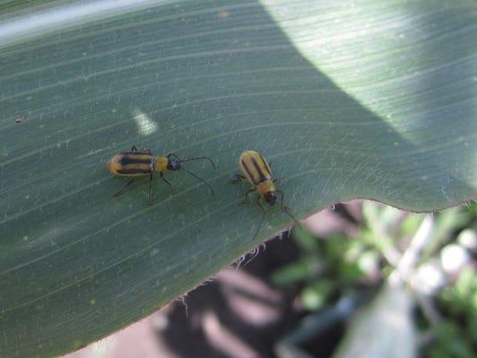 Jensen-Western-corn-rootworms.JPG