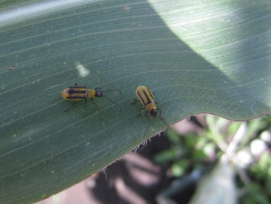 These western corn rootworm adult beetles emerge late