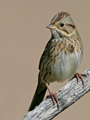 Lincoln's sparrows tend to hide in dense brush, where there brown streaks make great camouflage