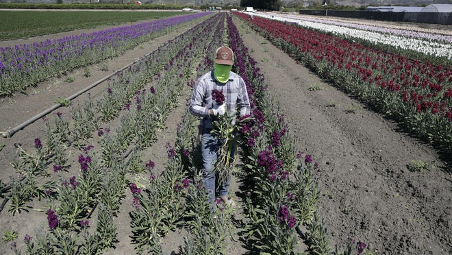 A farmworker, considered an essential worker under the current COVID-19 guidelines, covers his face as he works at a flower farm in Santa Paula in April. Gov. Gavin Newsom has pledged to do more to protect Latinos and essential workers from economic and health harms caused by the coronavirus pandemic.