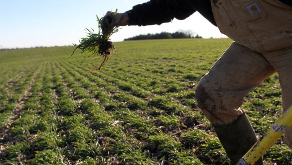 Steve Berger displays the roots of cereal rye cover