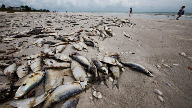 Dead fish litter the beach on Sanibel Island on Thursday.  Red tide is causing fish kills in Lee County waters.  Recent counts along the beach has been as high as 500,000 cells per liter this week.