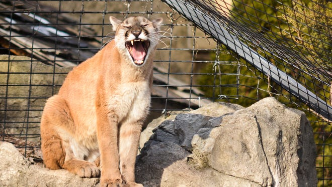 A cougar yawns after awakening from a nap in the sun at the Bay Beach Wildlife Sanctuary on Feb. 27, 2016.