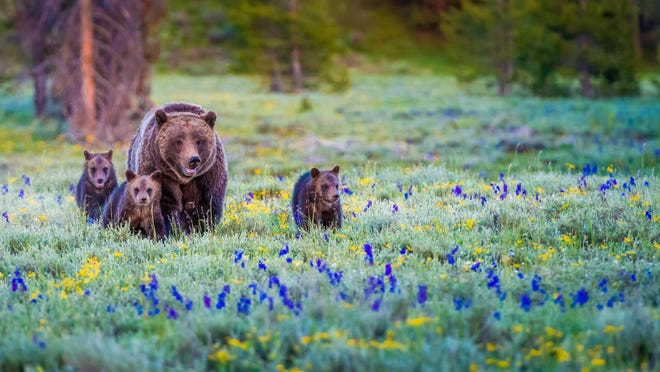 This stock image of grizzly bears does not include Grizzly 399
