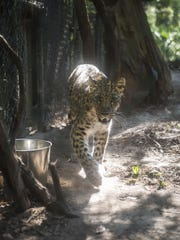 An Amur leopard on display at the Tallahassee Museum.