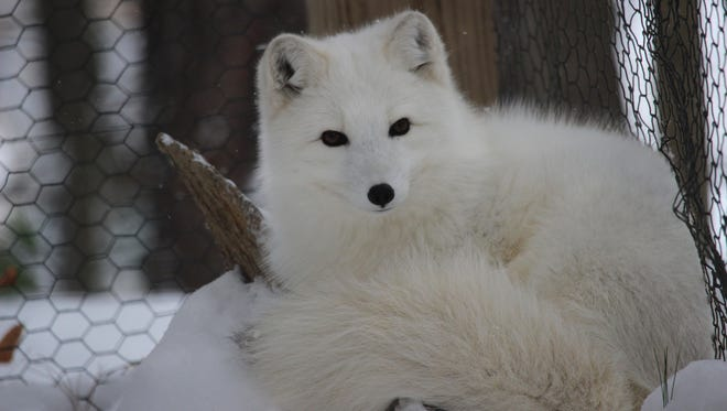 """Lily, an Arctic fox, is just one of the animals that can be """"adopted"""" at the Binghamton Zoo."""