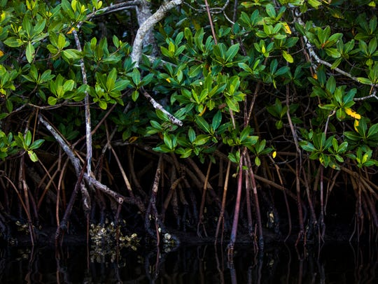 Red mangroves along the first stretch of the Great