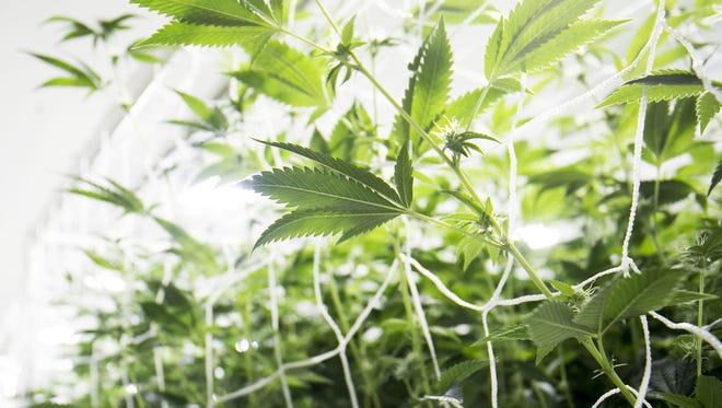 Plants in a grow room at a marijuana farm supplying Arizona's medical-marijuana industry.