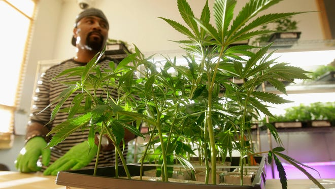 In this Feb. 1, 2011 photo, Harborside Health Center employee Gerard Barber stands behind medical marijuana clone plants at the dispensary in Oakland, Calif. A Northern California medical marijuana dispensary that bills itself as the nation's largest retail purveyor of pot goes to court Thursday Dec. 20, 2012 to fight the local federal prosecutor's effort to shut it down. Lawyers for Harborside Health Center and the city of Oakland are asking a federal judge to let the dispensary stay in business until a court decides if the government is exceeding its authority by going after businesses that comply with state medical marijuana laws.