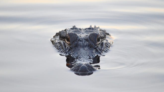 Alligator season is proving a boon for states like Florida and Mississippi.