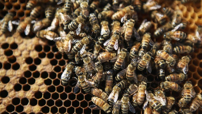 Bees belonging to Gee'z Beez's Ginger Davidson congregate on a frame during a check-in Friday on the Bristol Bar and Grille rooftop. May 22, 2015