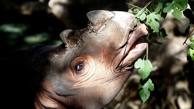 Harapan, an 8-year-old Sumatran rhino, eats a snack at the Cincinnati Zoo and Botanical Gardens Tuesday August 25, 2015. He is currently the only Sumatran rhino in the Western Hemisphere, but will soon be moved to breed at the Sumatran Rhino Sanctuary in Indonesia.