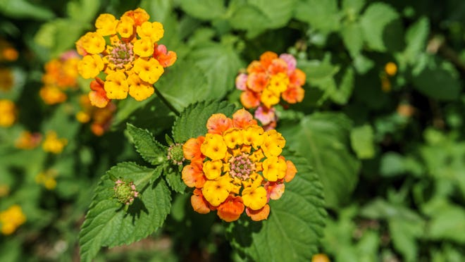 Lantanas. Pretty flowers but they want to take over.