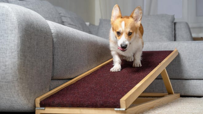 A ramp can be helpful for a dog that has difficulty getting on and off couches or beds.
