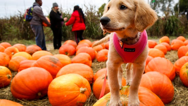 Piper, a golden retriever, poses on a pumpkin at the 2018 Hartsburg Pumpkin Festival.