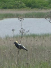 A bobolink surveys the Dewey's Pasture wetland and