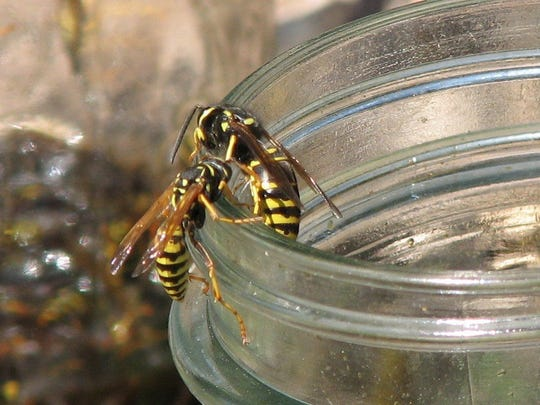 Yellowjacket wasp populations peak in late summer. They will actively scavenge for any sugary mixes.