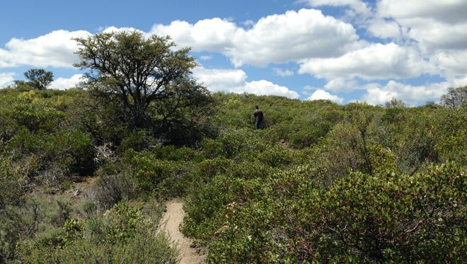 Manzanita and other shrubby plants on Spattercone Nature Trail.
