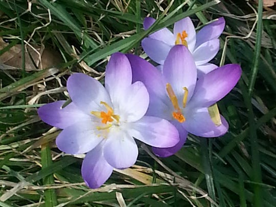 Crocuses, one of the early harbingers of spring, in
