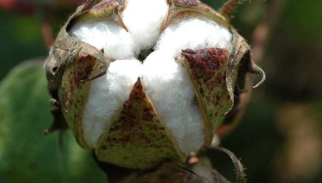 Cotton acres are expected to increase in Texas in 2017 as producers switch from grains amid better market conditions for the fiber.