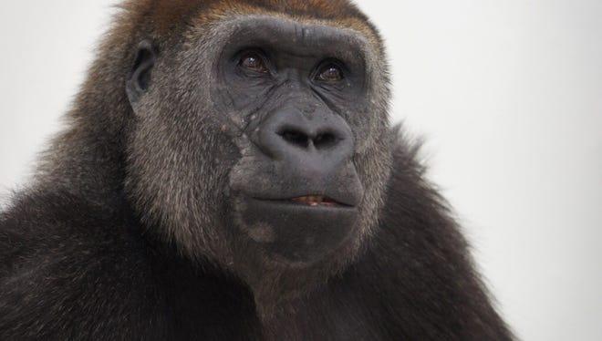 Alice, a Western lowland gorilla, is pregnant again.