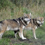 Trappers who incidentally trap wolves to contact DNR