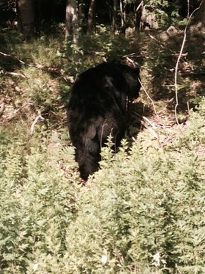 This bear was photographed by reader Beth Murray on Sterling Mine Road in Sloatsburg June 24. It is not known whether it is the same bear local police warned residents about on Wednesday.